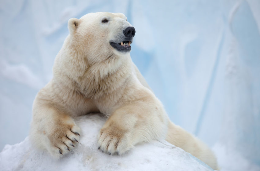 What is the skin color of polar bears?