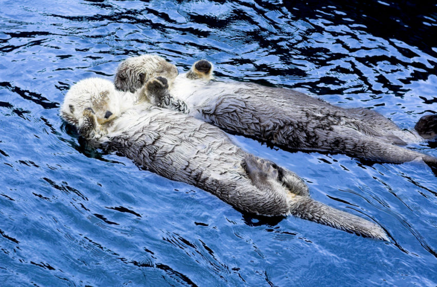 Otters hold hands while sleeping so that they do not drift apart
