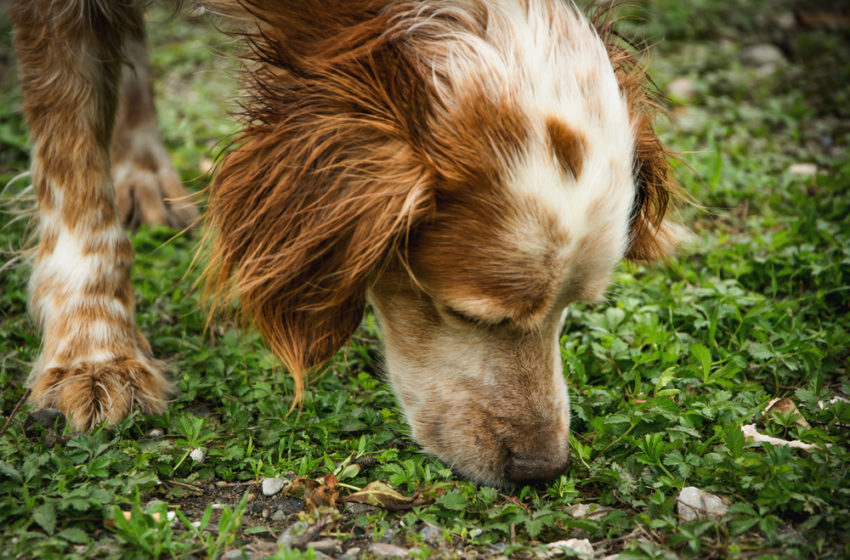A dog's nose can detect thermal heat a new study suggests